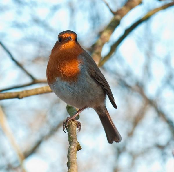 Robin\'s Stare by Trev_B