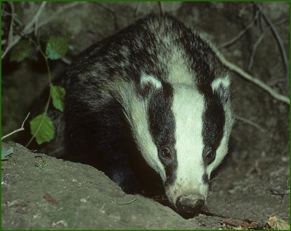 Badger Leaving the Sett. by Badgerfred