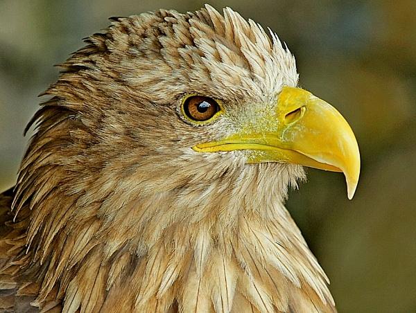 Sea eagle Portrait by Kruger01