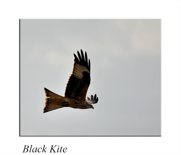 Black Kite by Gray_ina