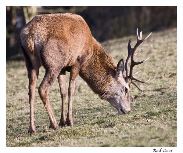 Red Deer by Mynett