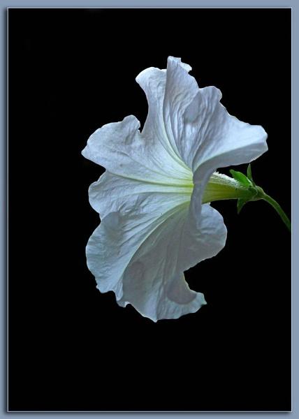 White Pitunia by samarmishra