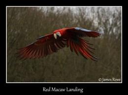 Red Macaw Landing
