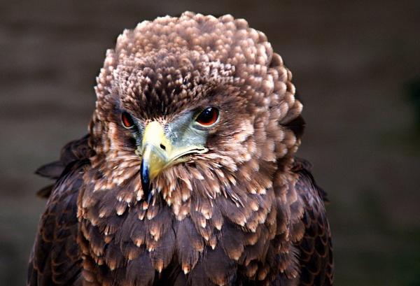 Bateleur Eagle by Lesley1959
