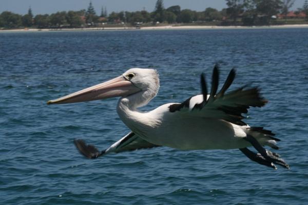 pelican by Robyn2012