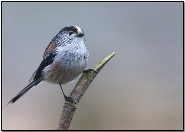 Long tailed Tit by VidB