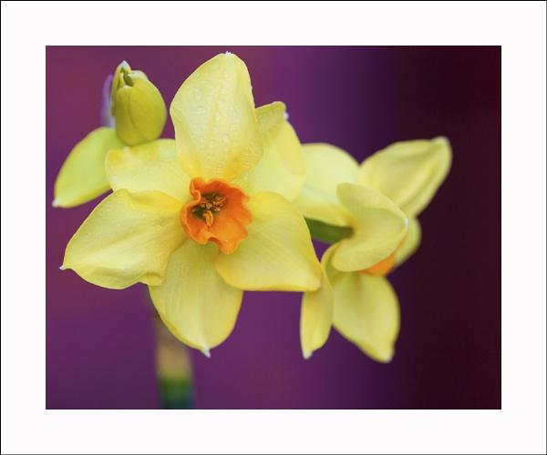 Daffodils by Sloman