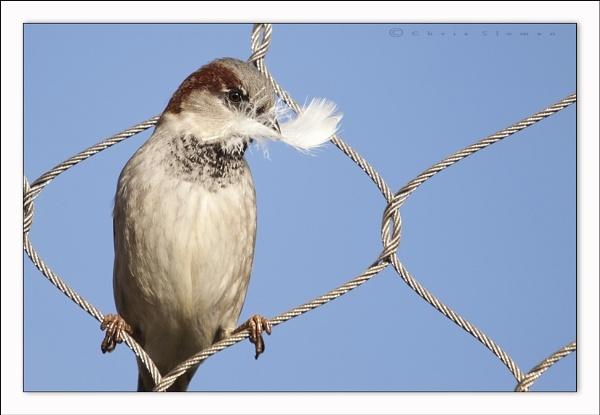 Nest building Sparrow by Sloman