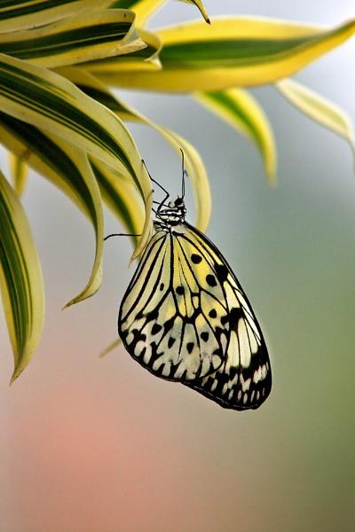 Tree Nymph Butterfly by bridge99