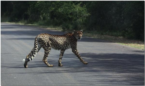 Kruger Park - Cheetah by CraigSev