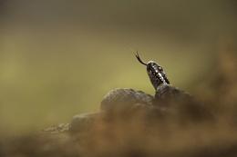 Male adder
