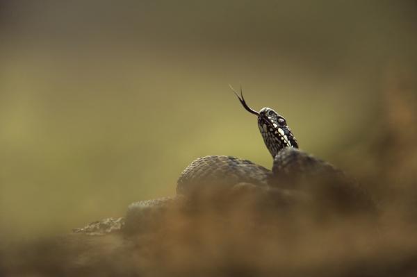 Male adder by Enmark