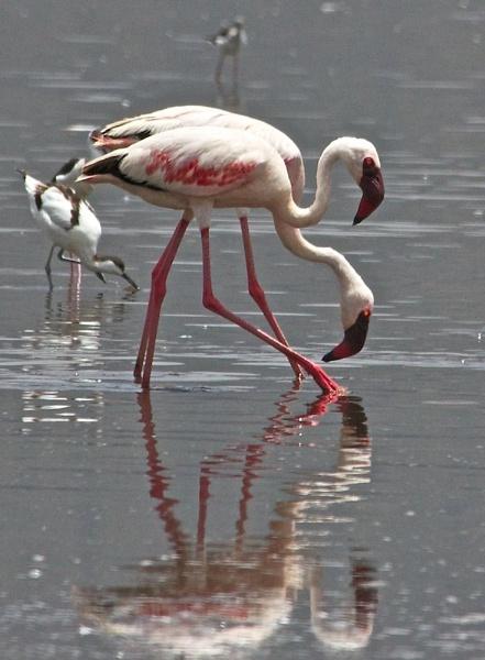 Pretty Flamingo by mjparmy