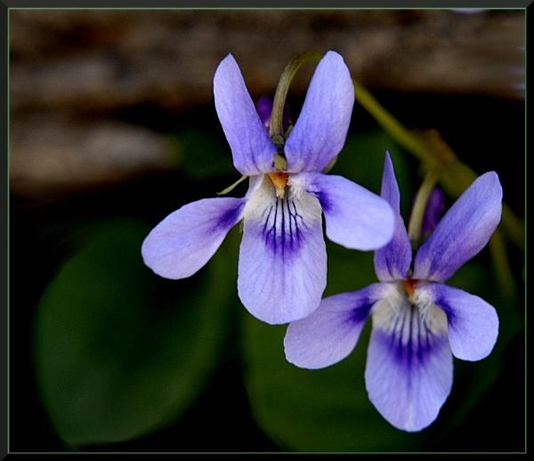 Viola by izida