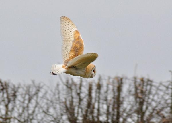 Wild Barn Owl by nik50