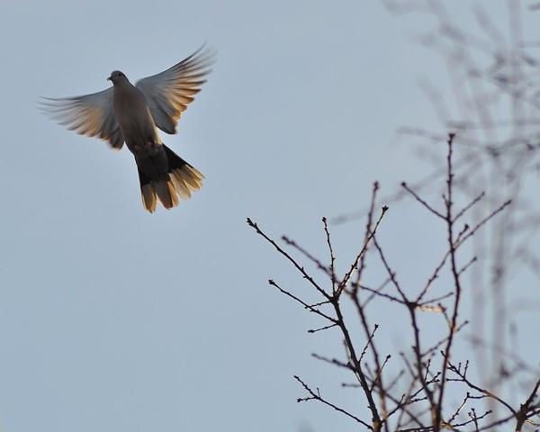 Morning Dove by nik50