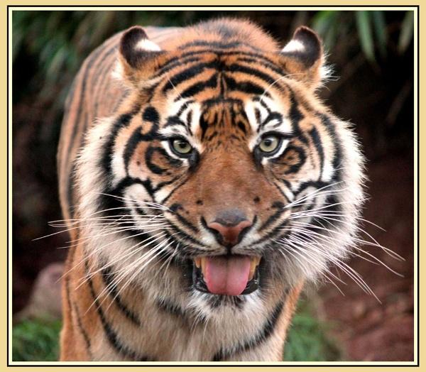 Diane\'s Tiger by SpanishDave