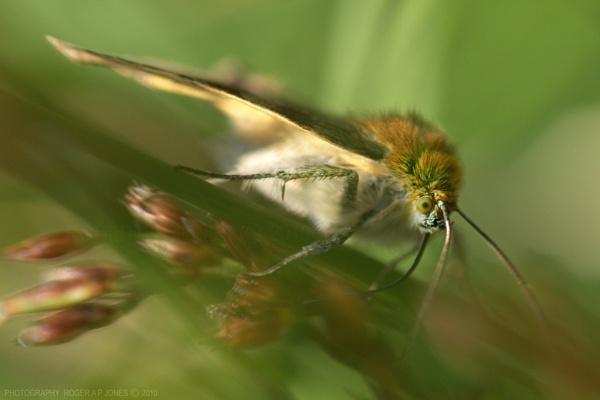 Tiny Moth by RAPjones