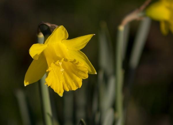 Daffodil by waylandtb