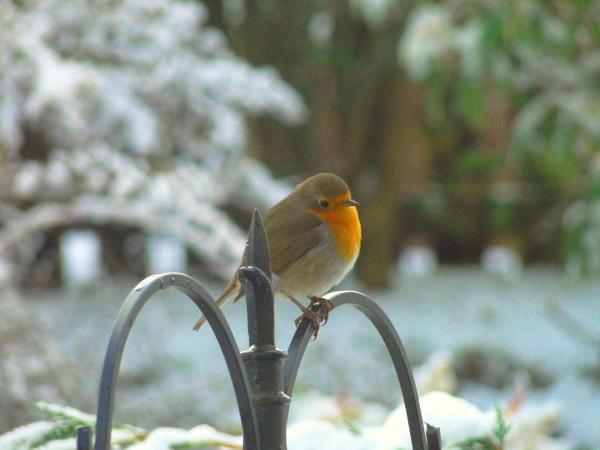 Robin in winter by DavyB