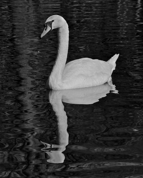 B&W swan by Gary_Dolby