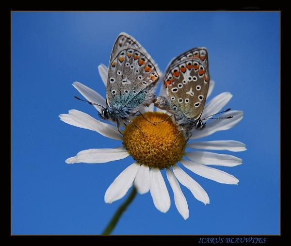 icarus bleu by ruurd