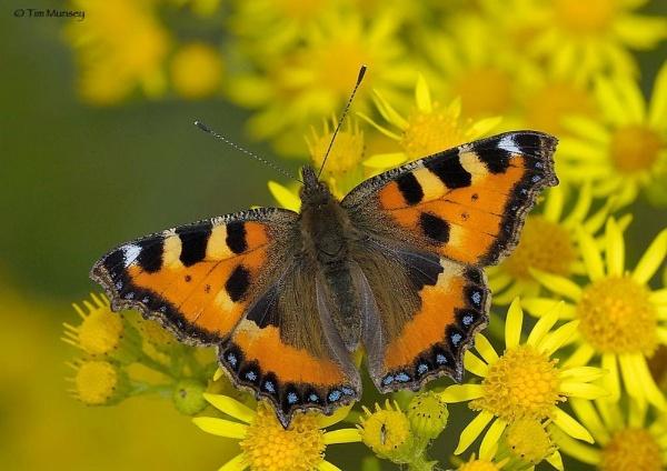 Tortoiseshell butterfly by TimMunsey