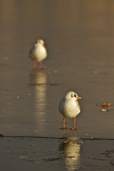 gulls on ice by tpfkapm