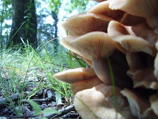 Mushrooms by ChorjaLady