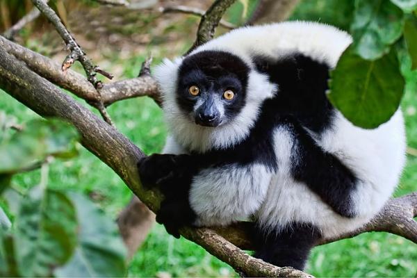 Lemur by rogharrison