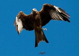 Red Kite feeding