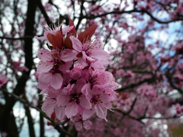 Cherry Blossom by Sararose