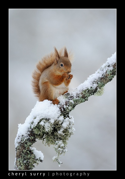New Snowy Squirrel by csurry