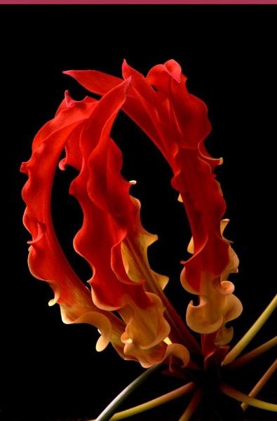 Senganthal flower by rajasekaranamie
