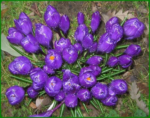 Purple Raindrops by Glostopcat