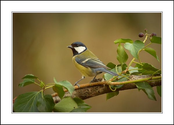 Great Tit by phil_j