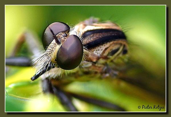 Robber fly by Pieter_Kotzee