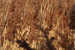 Potteric Carr 4 - Reeds