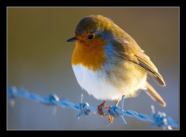 Robin watching me by Mrd06