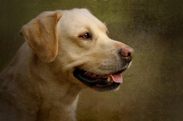 Labrador by SurreyHillsMan
