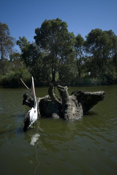 Pelican Brief by Baronred