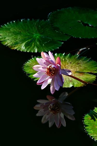 Water Lily by hoang_van