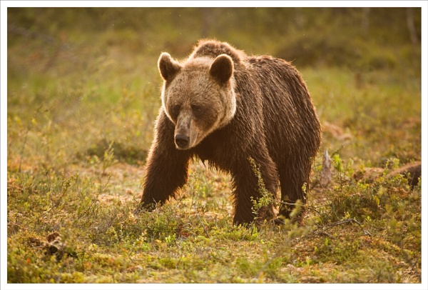 Brown Bear morning. by rontear