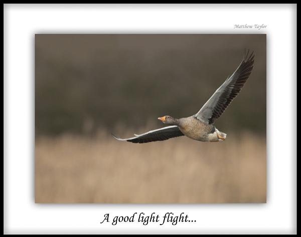 Greylag Goose by Emmog
