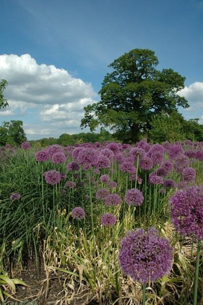 Allium Field by hippysnapper