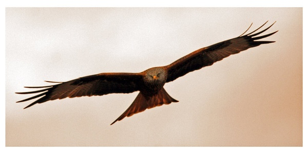 Red Kite in Flight by Rob_McG