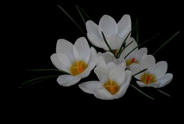 White Crocus by izida