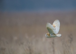 Wild Barn Owl