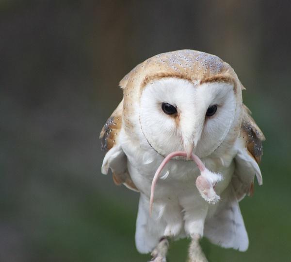 Barn Owl Feeding by Tezz450D