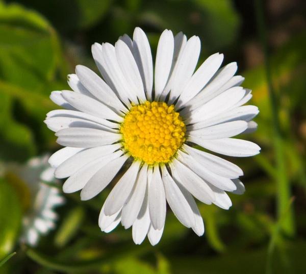 Daisy by mrpjspencer